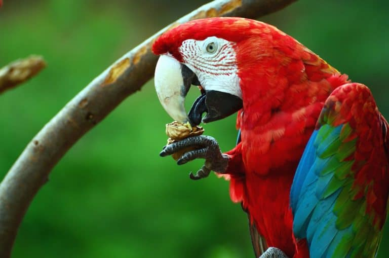 Greenwing Macaw.
