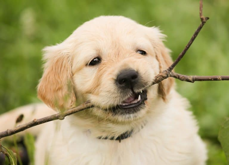 Golden Retriever puppy chewing on stick.