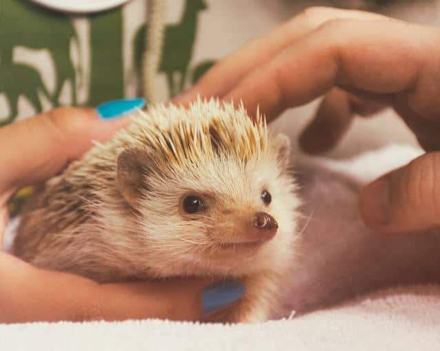 Photo of pet hedge hog. Hedge hog pet care information.