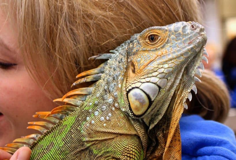 You can adopt all kinds of pets from an animal rescue, like this iguana.