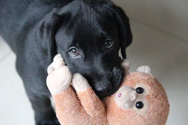 Dog with stuffed animal.
