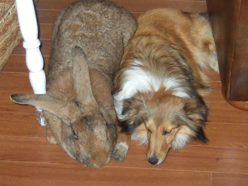 flemish giant with shetland sheepdog. rabbit rescue