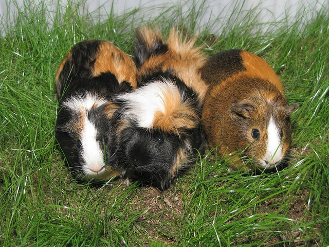 small animal rescue guinea pigs