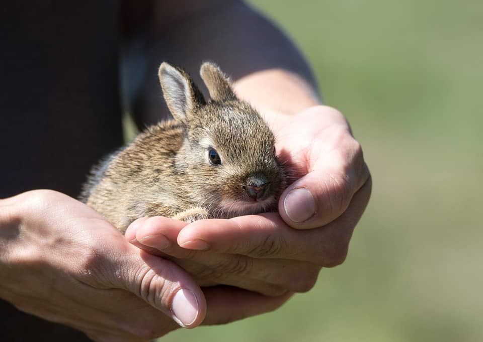 Photo of person from the Wildlife Rescue League holding a baby bunny.