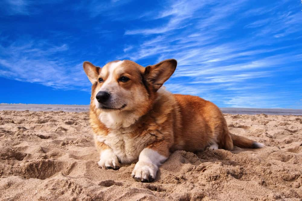 Looking For a Mid-sized Dog? Adopt a Corgi