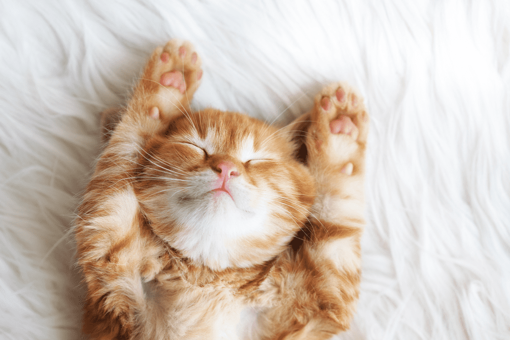 How Much Does It Cost to Declaw a Cat? – A Complete Cat Lover's Guide