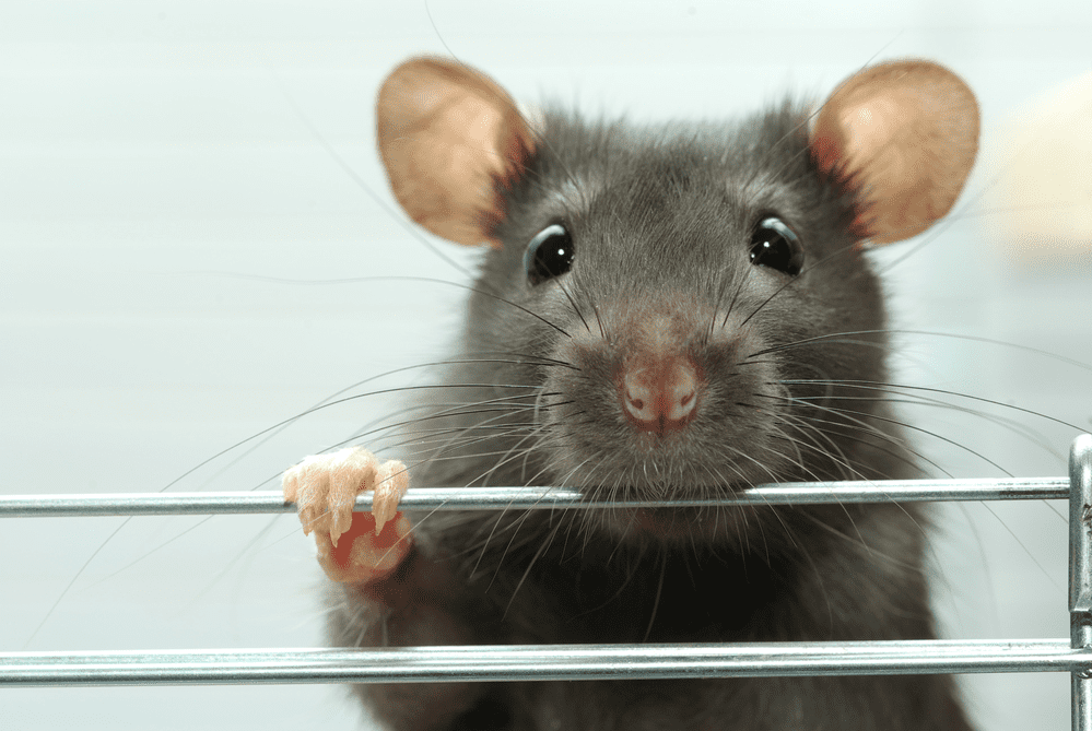 Pet Rat Care: The Basics on How to Take Care of A Pet Rat