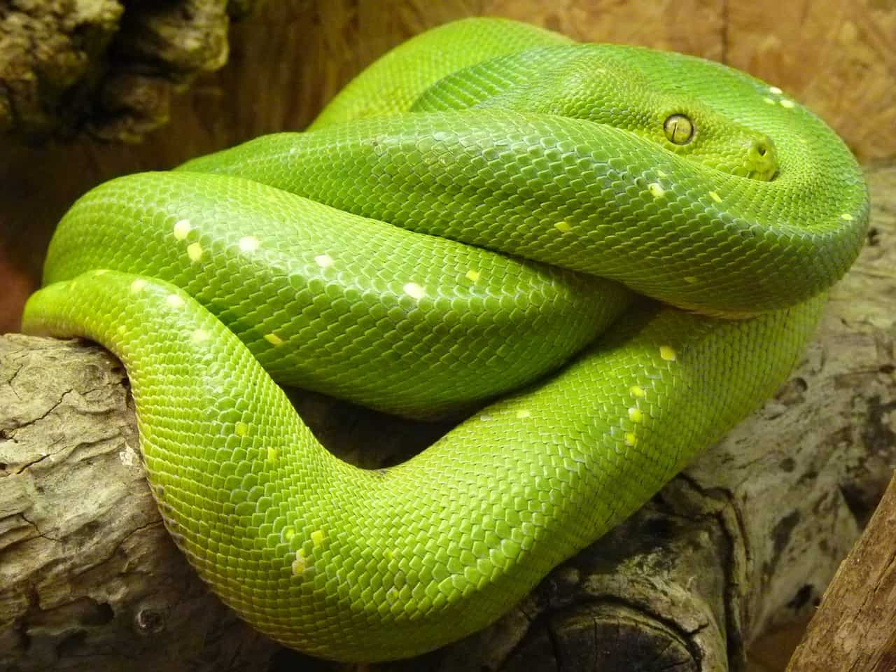 pet green tree python
