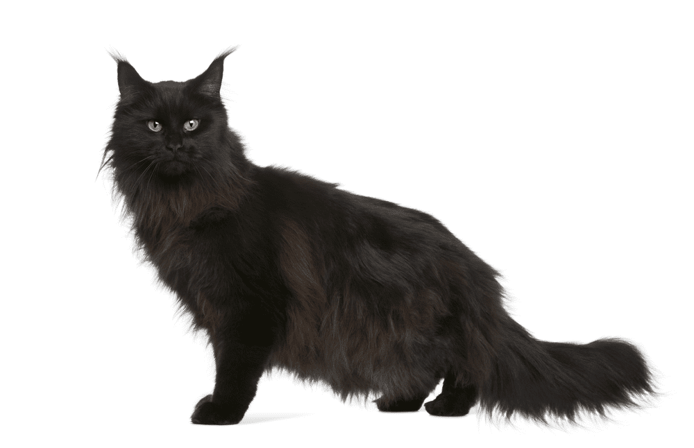 What You Need to Know Before Owning a Black Maine Coon Cat