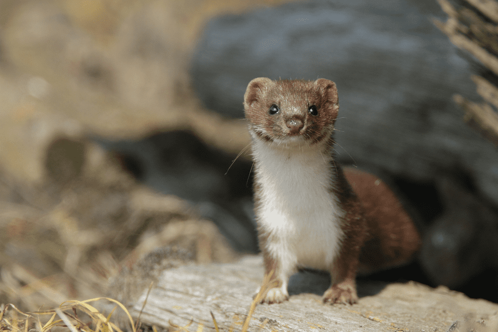 Considering Owning a Pet Weasel? Here Is Everything You Need to Know Beforehand