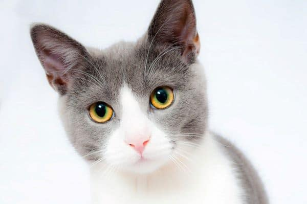 adorable grey and white cat